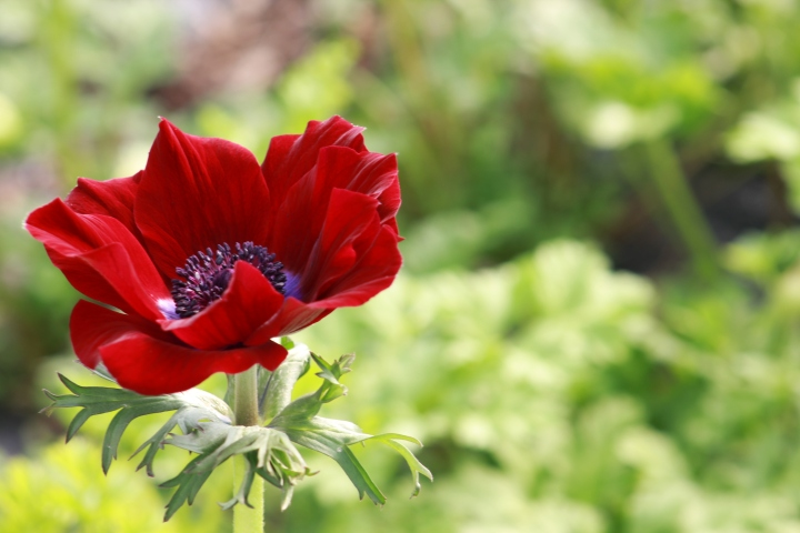 anemonesranunculusjanuary 009