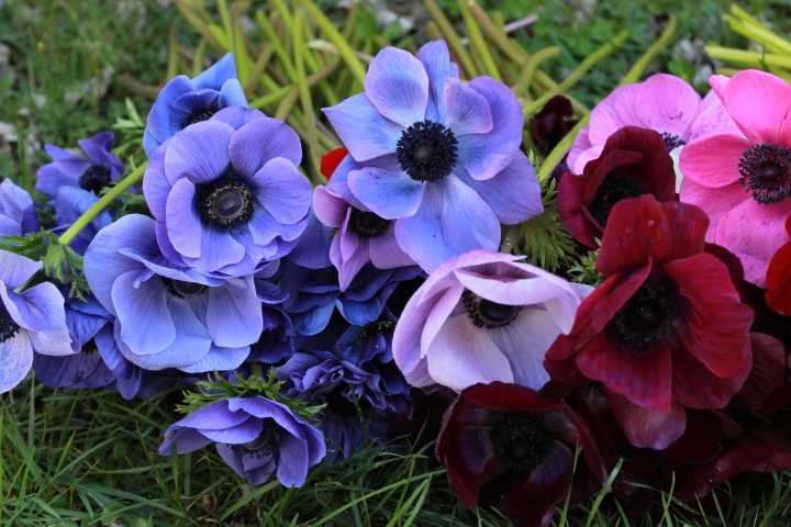 Using Anemones as Cut Flowers