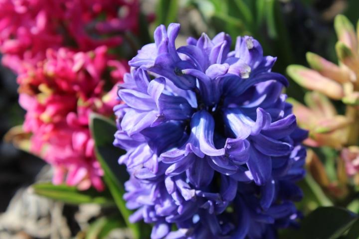 hyacinthsandotherstuff 010