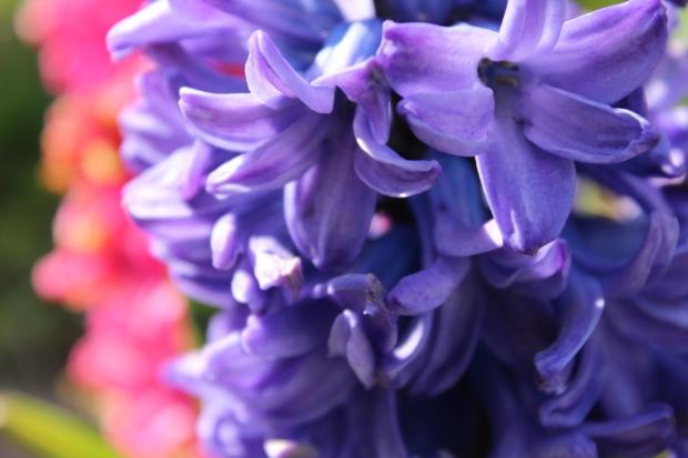 hyacinthsandotherstuff 011