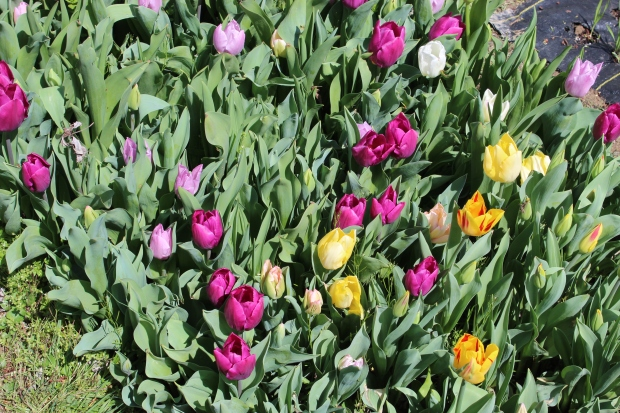 tulipsorsomething 003