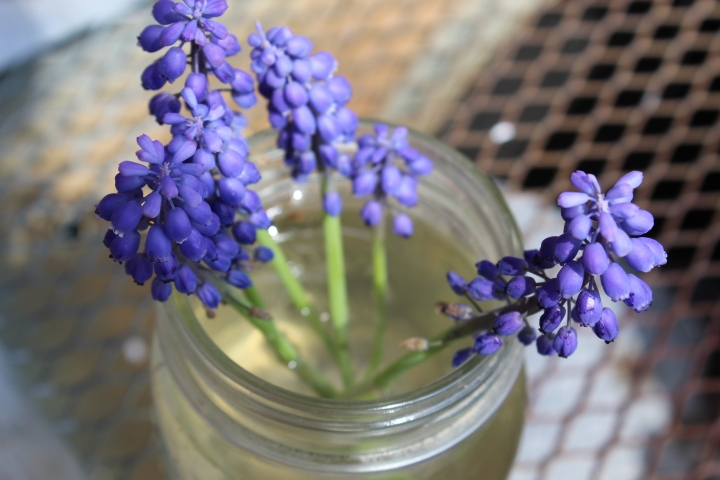 Planting Muscari in the Garden (Photos) – Cut Flower Farm Gardening for Beginners