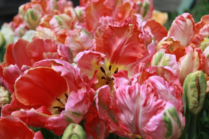 picking_tulips 045