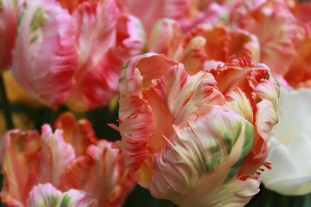 picking_tulips 050
