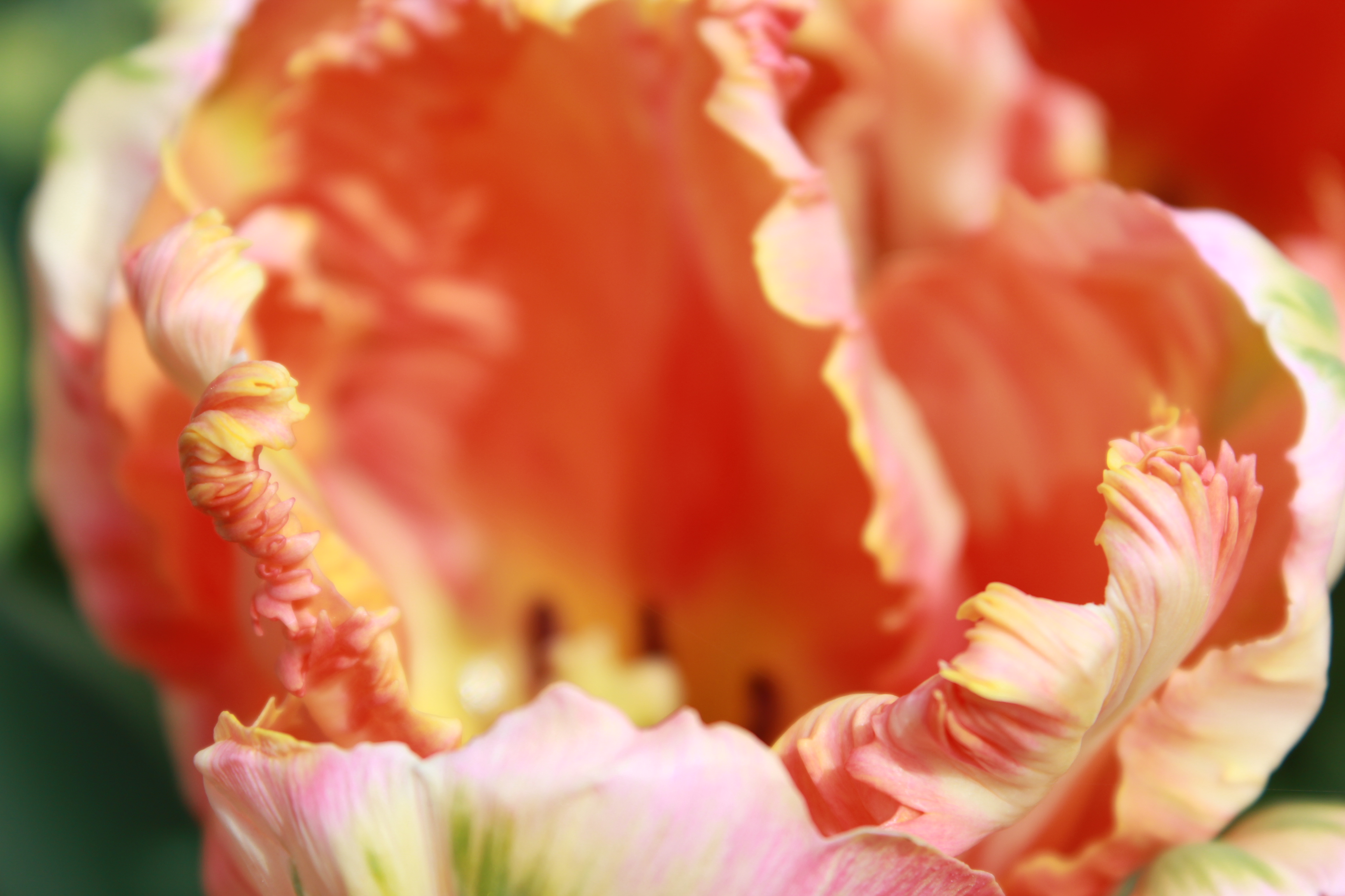 how to grow tulips from cuttings