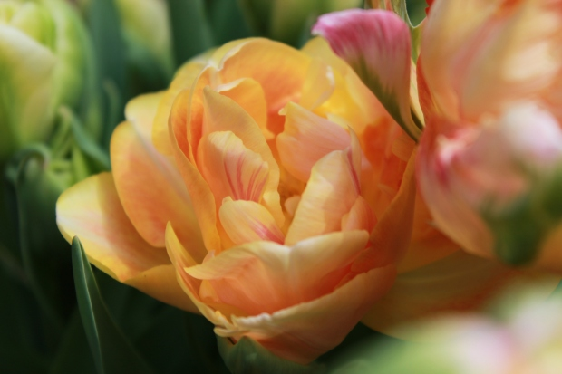 picking_tulips 057