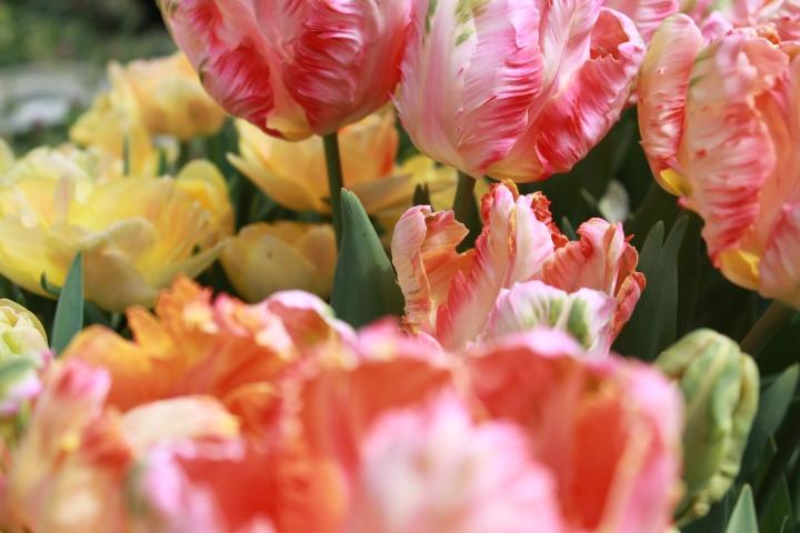 picking_tulips 060