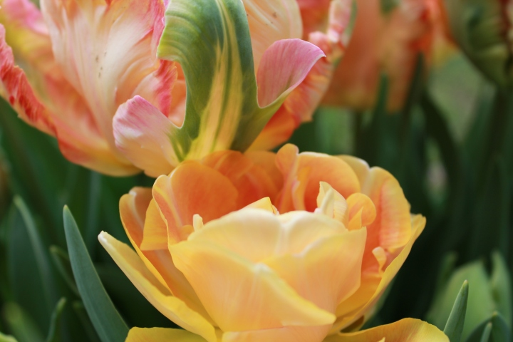 picking_tulips 073