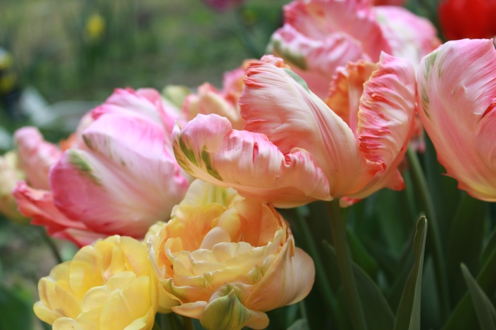 picking_tulips 076