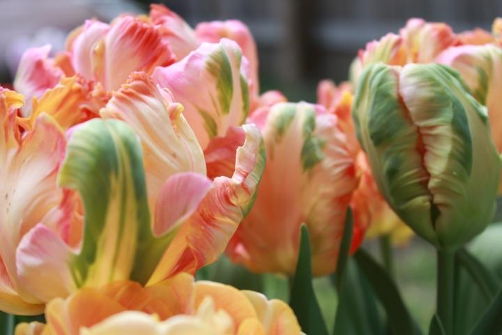 picking_tulips 078