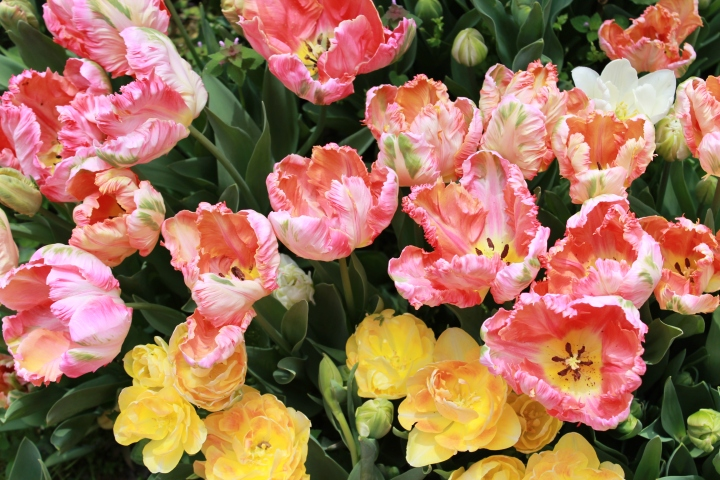 picking_tulips 088