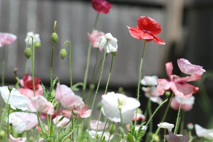 poppy 009