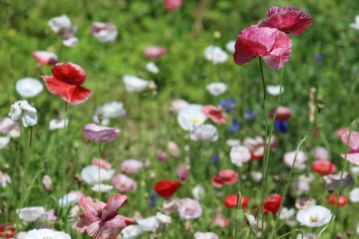 Sowing Mother of Pearl Shirley Poppies – Fall Planting Hardy Annual Cut Flowers in Zone 6
