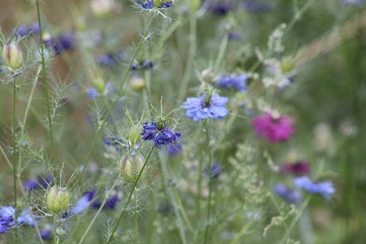 Growing Love in a Mist Nigella Flowers – Cut Flower Garden