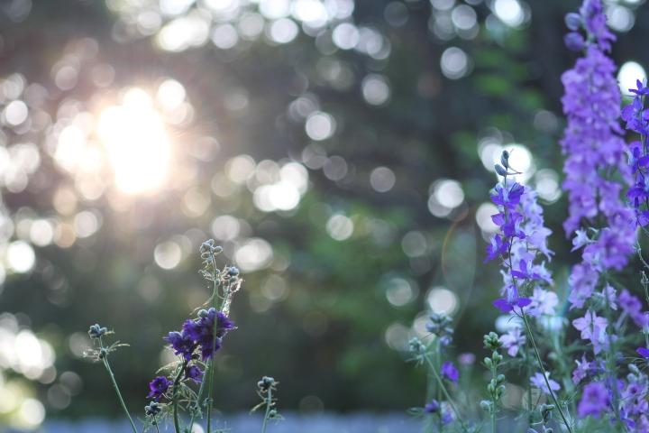 How to Grow Larkspur in Zone 6b/7 – Ornamental Cut FlowerGardening