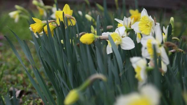 daffodils-003