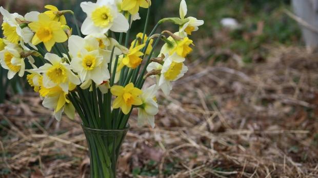 daffodils-026