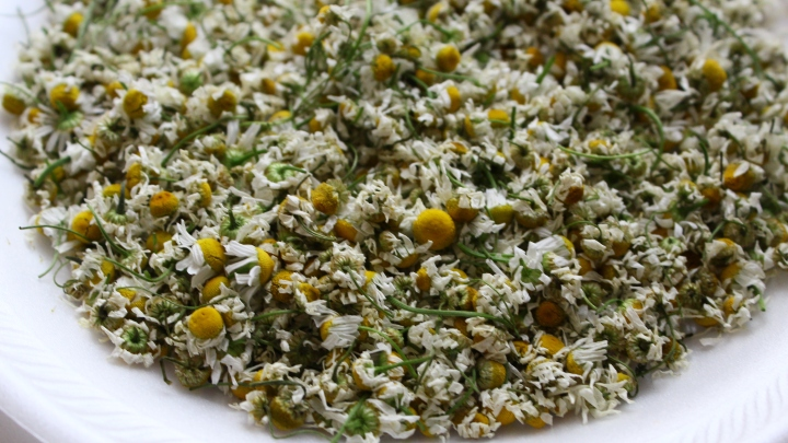Growing Chamomile from Seed: Gardening for Beginners – Growing Flowers from Seed – Cut Flower Farm