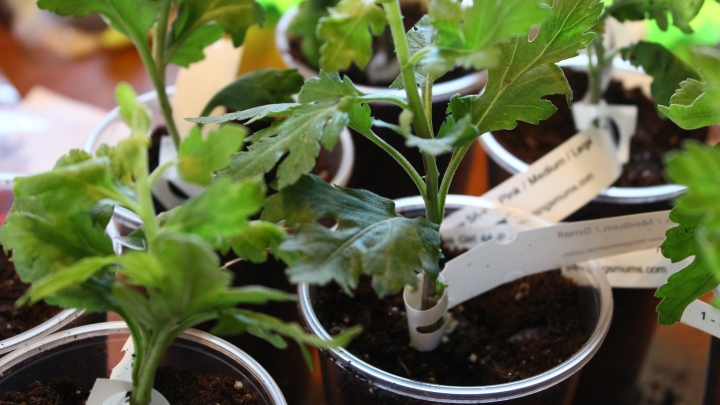 Chrysanthemum Cuttings in the Mail! Thanks King's Mums!