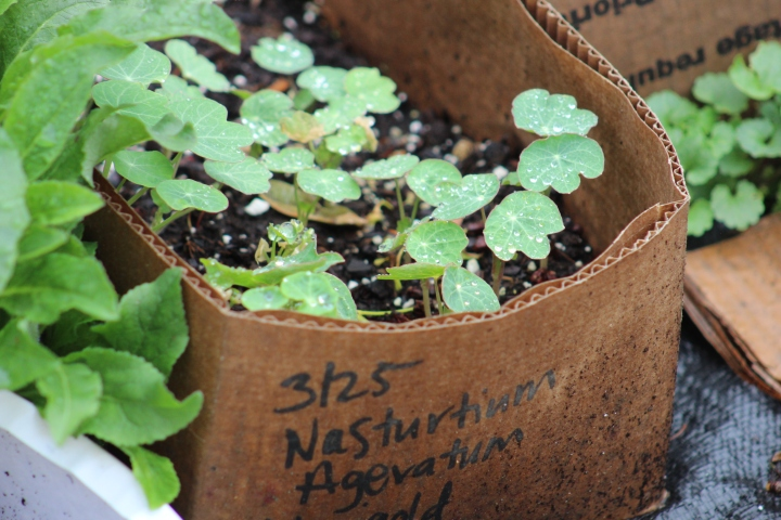Winter Sowing Results / End of April Garden Update – Cut Flowers andVegetables