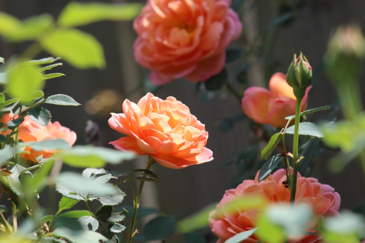 'Lady of Shalott' David Austin Roses – Growing Cut Flowers