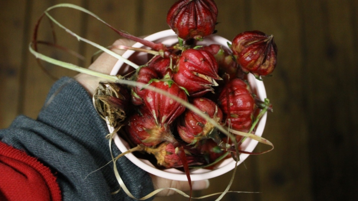 Saving Roselle Seeds – Cut Flower Farm